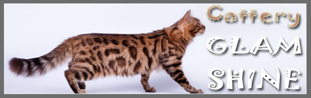 Bengal cats - GLAM SHINE - russian